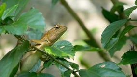 Un pequeño lagarto exótico de la sanguijuela se sienta en el medio del follaje verde enorme, selva en las zonas tropicales, fondo almacen de metraje de vídeo