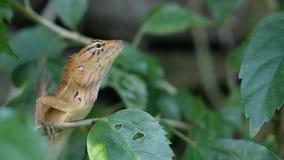 Un pequeño lagarto exótico de la sanguijuela se sienta en el medio del follaje verde enorme, selva en las zonas tropicales, fondo metrajes