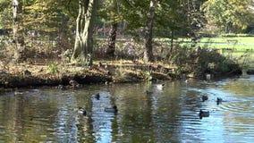 Un pequeño lago en el parque Patos salvajes que nadan en el lago Reflexión del cielo y de los árboles en el agua del lago metrajes