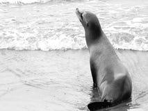 Un pequeño león marino que se sienta en la resaca de la orilla en la playa de Venecia almacen de metraje de vídeo