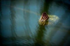 Un pequeño lirio de agua Foto de archivo libre de regalías