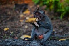 Un pequeño mono de macaque joven come el plátano Monos lindos imagen de archivo
