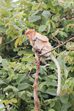 Un pequeño mono de probóscide Imagen de archivo libre de regalías