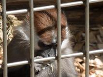 Un pequeño mono del capuchón detrás de las barras de metal que parece muy triste fotografía de archivo