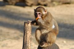 Un pequeño mono que come una naranja Imagenes de archivo
