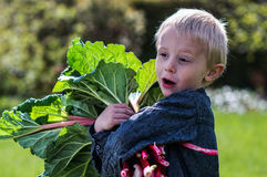 Un pequeño muchacho preescolar que tiene gran manojo de la cosecha una de rhubarbs en el jardín en un día de primavera soleado Imagen de archivo libre de regalías
