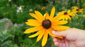 Un pequeño niño toca una flor amarilla Primer de una mano del ` s del niño Abeja en la flor amarilla almacen de video