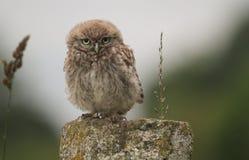 Un pequeño noctua de Owl Athene del bebé lindo se encaramó en posts por la tarde imagen de archivo