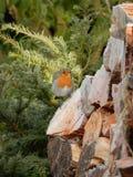 Un pequeño pájaro del petirrojo cuando viene la primera helada Fotografía de archivo libre de regalías