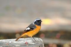 Un pequeño pájaro en la roca Foto de archivo libre de regalías