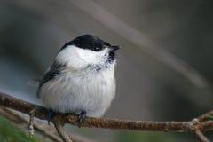Un pequeño pájaro es un tit del sauce que se sienta en una rama Imágenes de archivo libres de regalías