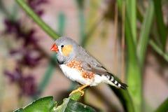 Un pequeño pájaro gris Fotos de archivo