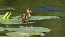 Un pequeño pato Fotografía de archivo