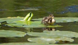 Un pequeño pato Foto de archivo
