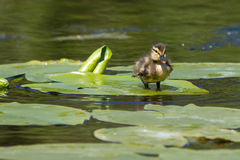 Un pequeño pato Imagen de archivo