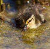 Un pequeño pato en el agua Fotografía de archivo libre de regalías
