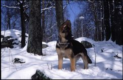 Un pequeño perrito del pastor alemán disfruta de invierno fotos de archivo