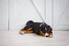 Un pequeño perrito del perro de la montaña de Appenzeller de la raza foto de archivo libre de regalías