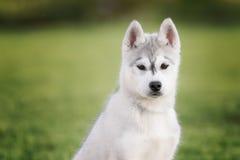 Un pequeño perrito lindo de husky siberiano fotografía de archivo libre de regalías