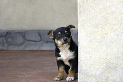 Un peque?o perrito que mira a escondidas hacia fuera de detr?s una esquina imagen de archivo libre de regalías