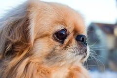 Un pequeño perro Imagenes de archivo