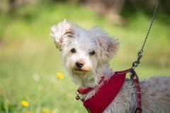 Un pequeño perro blanco con el pelo rizado y un arnés rojo foto de archivo