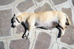 Un pequeño perro blanco está mintiendo en la tierra Visión desde arriba Imagenes de archivo