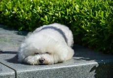 Un pequeño perro blanco precioso Fotografía de archivo