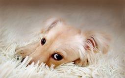 Un pequeño perro con los ojos tristes Foto de archivo libre de regalías