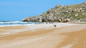 Un pequeño perro corre a lo largo de una playa salvaje arenosa y asusta lejos pájaros metrajes
