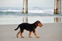 Perrito de Airedale Terrier solamente perdido en la resaca vacía   Imagen de archivo libre de regalías