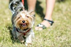 Un pequeño perro de Yorkshire Terrier que camina en un parque con un girrl del dueño en el día de verano soleado Imagen de archivo libre de regalías