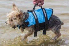 Un pequeño perro depositado en el agua por su dueño usando su lifeja Fotos de archivo