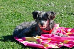 Un pequeño perro en el jardín que toma el sol con su toalla foto de archivo