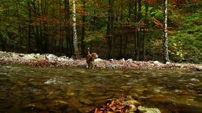 Un pequeño perro lindo del beagle huele para la presa o la invitación y comienza el funcionamiento almacen de metraje de vídeo