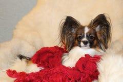 Un pequeño perro melenudo descansa sobre una zalea blanca en una butaca foto de archivo libre de regalías