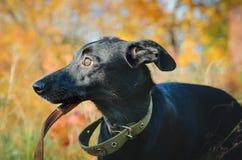 Un pequeño perro mestizo negro se coloca en la hierba Primer, retrato en pprofile fotografía de archivo
