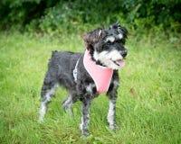 Un pequeño perro mezclado de la raza en un arnés Foto de archivo libre de regalías