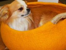 Un pequeño perro que descansa en un bolso amarillo brillante Fotografía de archivo libre de regalías