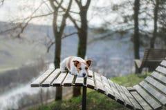 Un pequeño perro se sienta en un banco y miradas enchufe lindo Russell en naturaleza foto de archivo