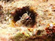 Un pequeño pescado que oculta en un agujero Foto de archivo