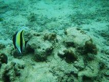 Un pequeño pescado subacuático en el mar fotografía de archivo