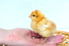 Un pequeño pollo en una mano fotos de archivo