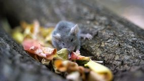 Un pequeño ratón come la comida en el bosque almacen de video