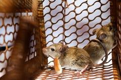 Un pequeño ratón con pan en la trampa de rata Fotos de archivo libres de regalías