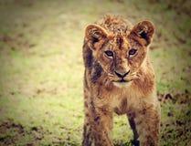 Un pequeño retrato del cachorro de león. Tanzania, África Fotografía de archivo