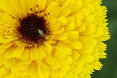 Un pequeño saltamontes en una flor amarilla Fotografía de archivo