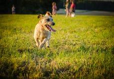Un pequeño terrier marrón de Russell del enchufe de la mezcla del perro que corre en prado en los rayos del sol poniente imagenes de archivo