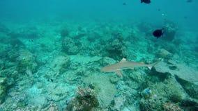 Un pequeño tiburón del filón nada a través de un arrecife de coral almacen de video