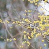 Un pequeño tit del pantano del pájaro Imagen de archivo libre de regalías